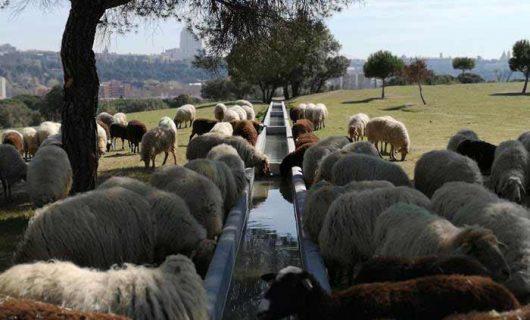 Portada-Ovejas-Rubia-Molar-Casa-Campo-Apisquillos-dLana