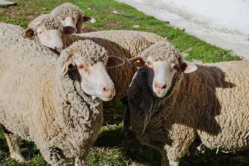 ovejas-lana-merino-grupo-reto-somos-lo-que-tejemos-dLana